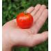 Little Malaka Greek Tomato