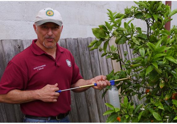 How to treat citrus gawl wasp with Vasili